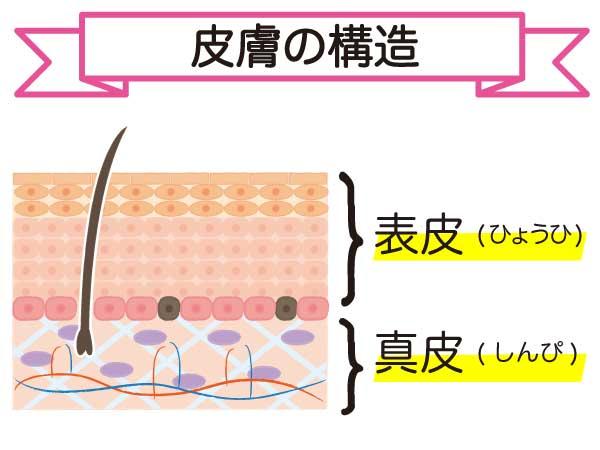 皮膚の構造を図解で説明